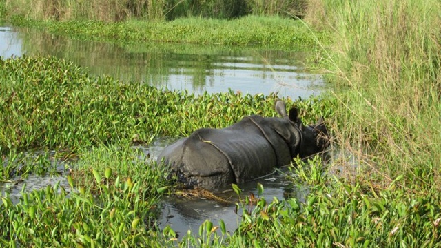 One Horned Rhinoceros In Chitwan National Park